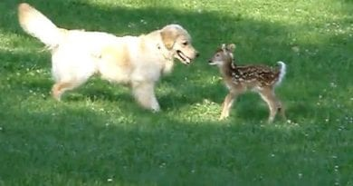 Incredible Video Shows Golden Retriever Rescue Drowning Fawn Off Long Island Beach