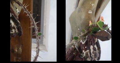 These frigid times now a Miraculous Signs of Hope: Flower blossoms from dry crown of thorns resting on a crucifix in Italy.