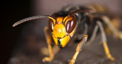 Spain on Alert as Giant Asian Hornets Kill their First Victim. If not contained may cause permanent damage to USA ecosystems.